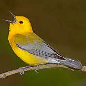 Golden Swamp Warbler Image